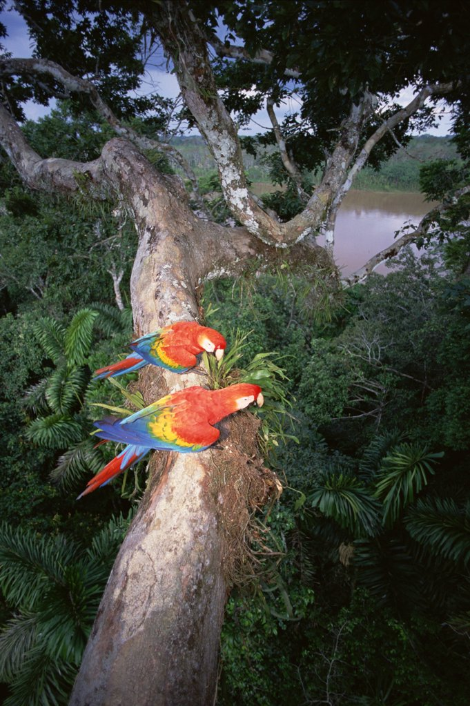 Scarlet Macaw (Ara macao) pair perched on tree limb, originally hand raised by the research center, they are now living in the rainforest canopy, Tambopata-Candamo Reserve, Amazon Basin, Peru : Stock Photo