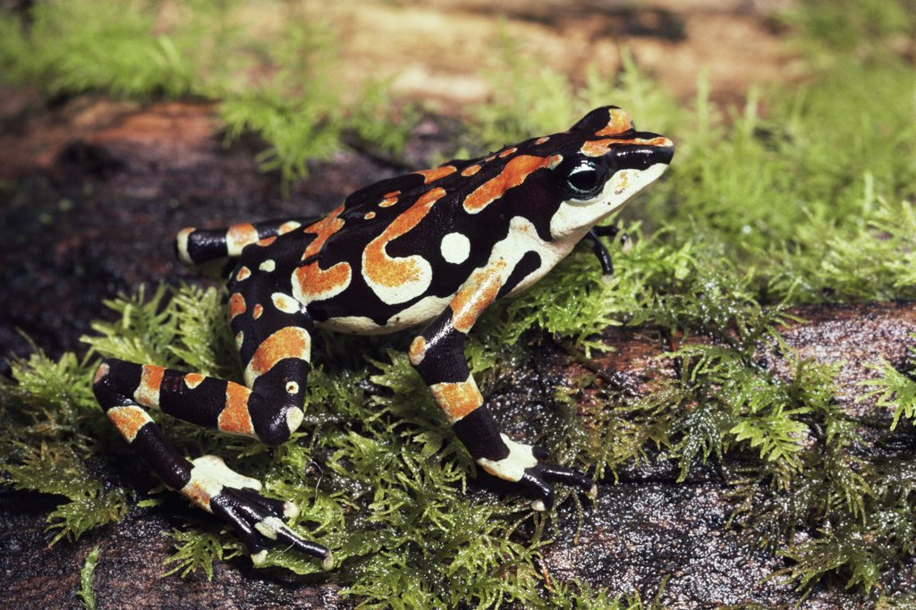 Stock Photo: 4201-73923 Harlequin Frog (Atelopus varius) displaying warning coloration, Braulio Carrillo National Park, Costa Rica