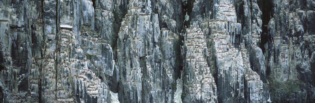 Brunnich's Guillemot (Uria lomvia) breeding colony on cliff face, Spitsbergen, Svalbard, Norway : Stock Photo