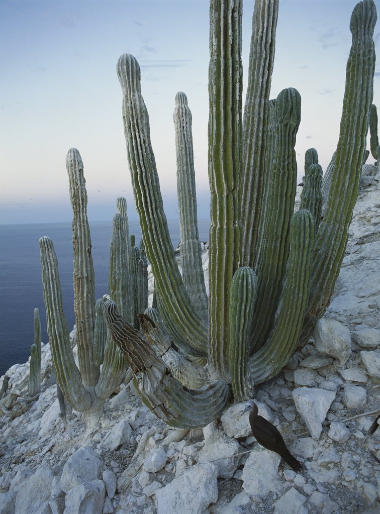 Stock Photo: 4201-74222 Cardon (Pachycereus pringlei) cactus, San Pedro Mßrtir Island, Gulf of California, Mexico