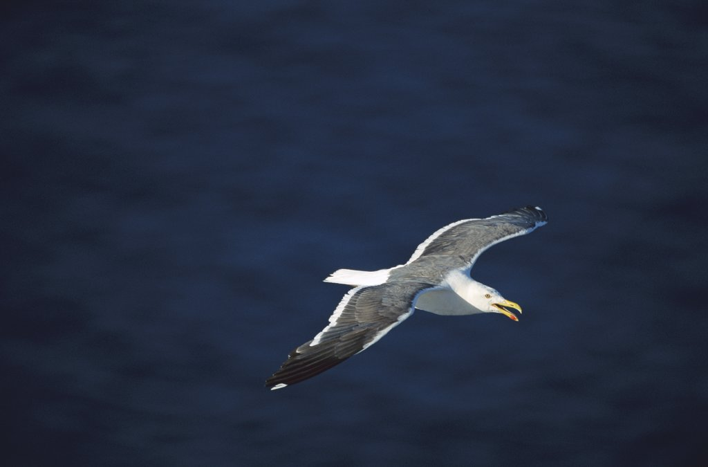 Western Gull (Larus occidentalis) adult flying, San Pedro Martir Island, Gulf of California, Mexico : Stock Photo