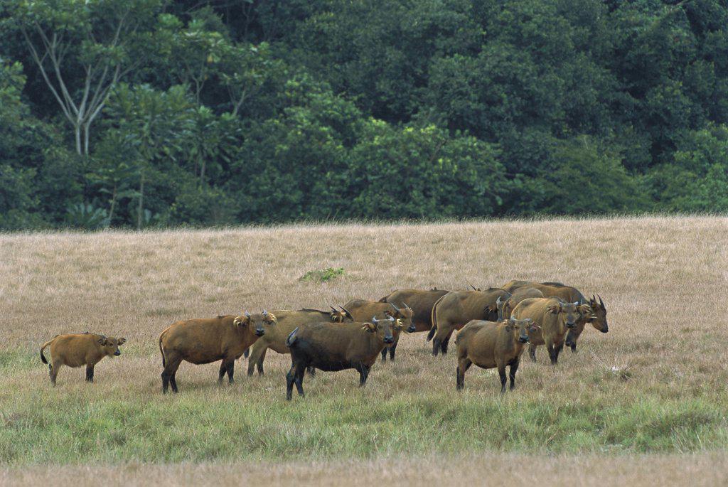 Stock Photo: 4201-74282 Cape Buffalo (Syncerus caffer) herd walking across grassland, Petit Loango National Park, Gabon, western Africa