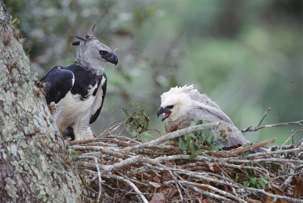 Stock Photo: 4201-743 Harpy Eagle (Harpia harpyja) female on nest attending juvenile chick, Ese'eja Native Lands, Tambopata River, Amazonian Peru
