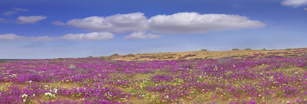 Stock Photo: 4201-7439 Sand Verbena (Abronia sp) carpeting the Imperial Sand Dunes, California