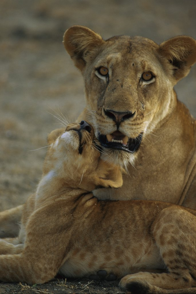 African Lion (Panthera leo) female with playful cub, Selous Game Reserve, Tanzania : Stock Photo