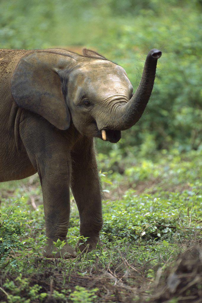 Stock Photo: 4201-74425 African Pygmy Elephant (Loxodonta pumilio) trumpeting, Ivory Coast, western Africa