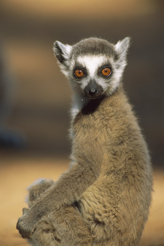 Ring-tailed Lemur (Lemur catta), Berenty Reserve, Madagascar : Stock Photo