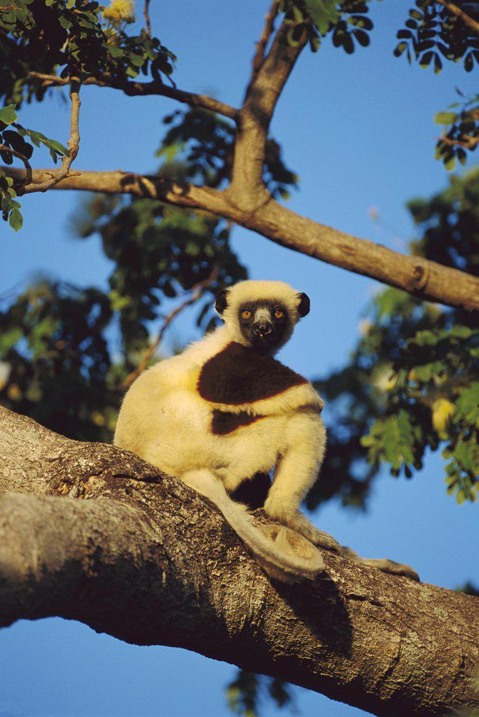 Coquerel's Sifaka (Propithecus coquereli) in tree, Northwestern Madagascar : Stock Photo