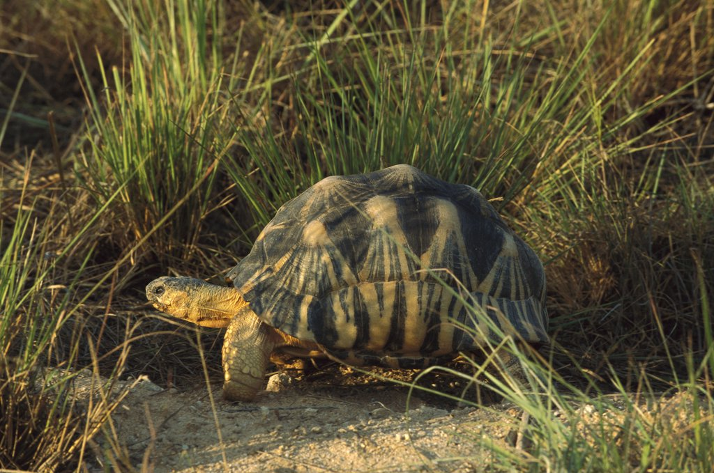 Stock Photo: 4201-74532 Radiated Tortoise (Geochelone radiata) in grass, Madagascar