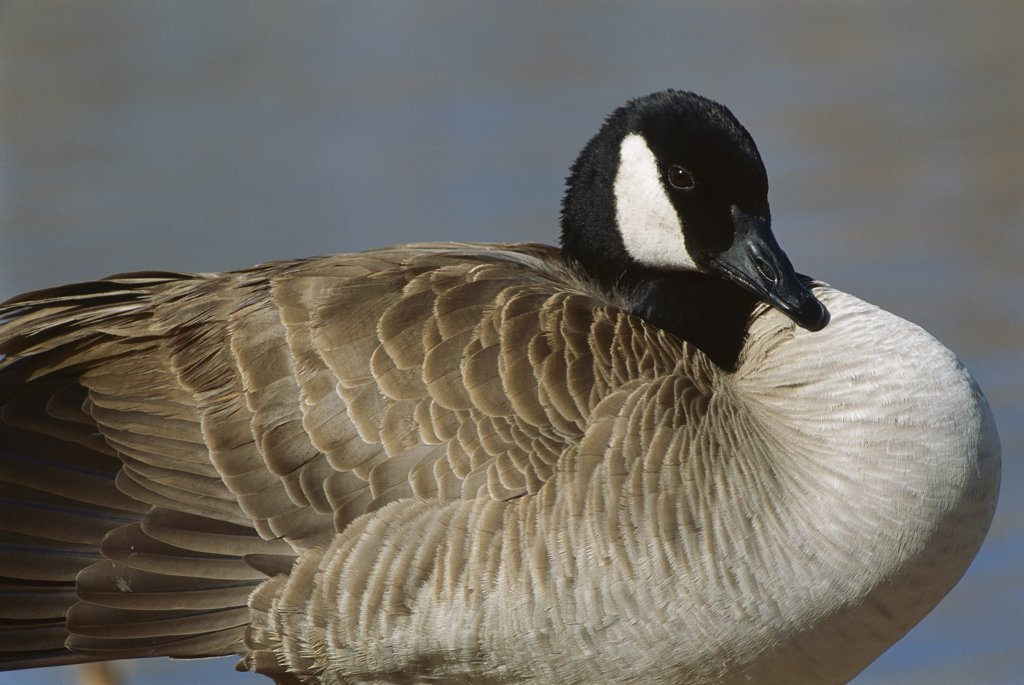 Stock Photo: 4201-74664 Canada Goose (Branta canadensis), North America
