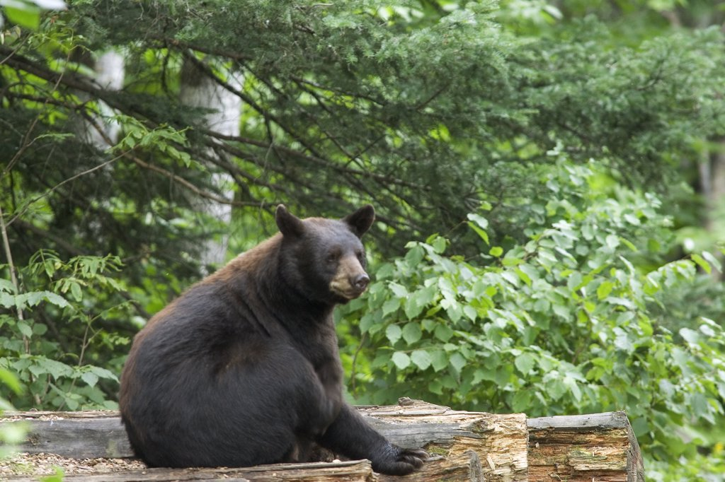 Black Bear (Ursus americanus) adult female black bear sitting, Orr, Minnesota : Stock Photo