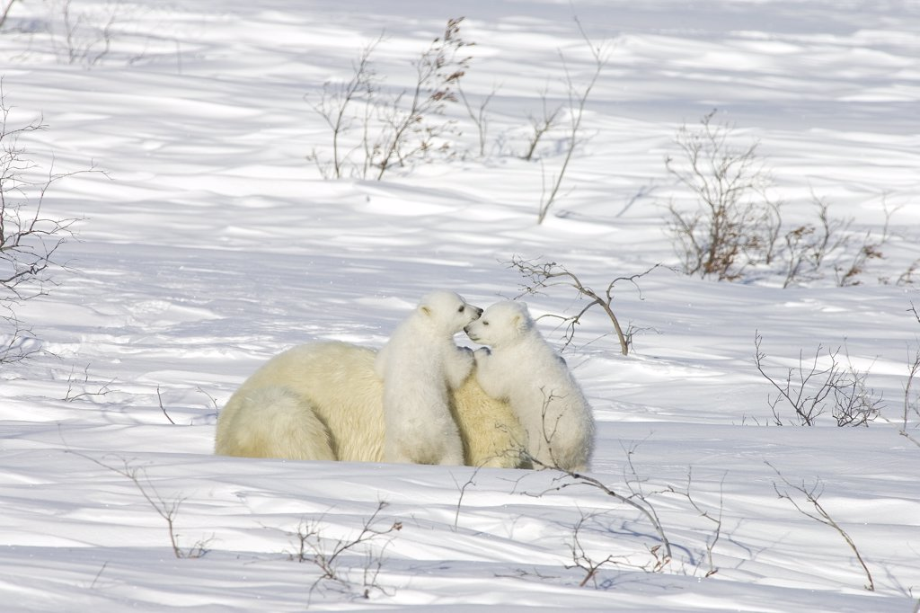 Polar Bear (Ursus maritimus) female with twelve week old cubs in arctic tundra, Canada : Stock Photo