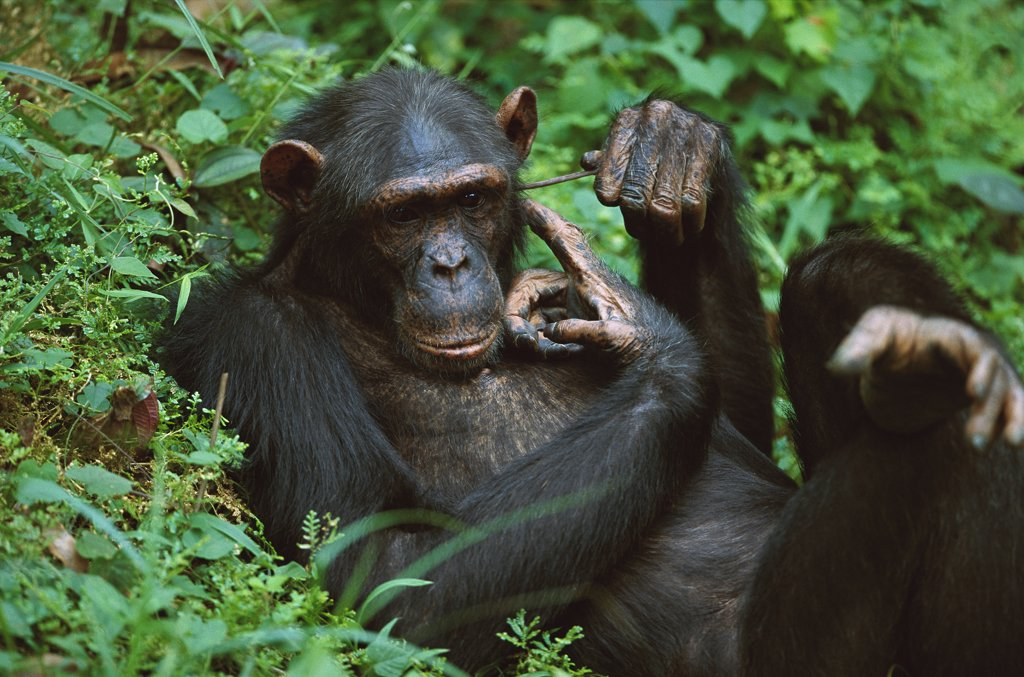 Stock Photo: 4201-75192 Chimpanzee (Pan troglodytes) male scratching his ear with a stick, Sanctuary, Gabon