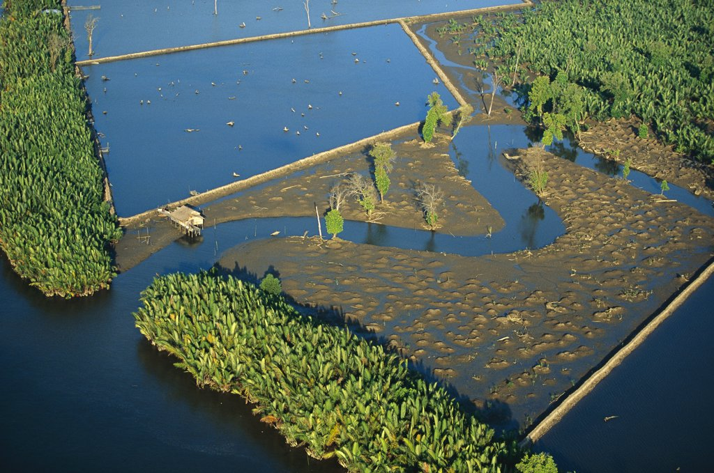 Stock Photo: 4201-75514 Mangrove forest in Mahakam Delta 80% destroyed in 2001 because of Tiger Shrimp farm, East Kalimantan, Indonesia