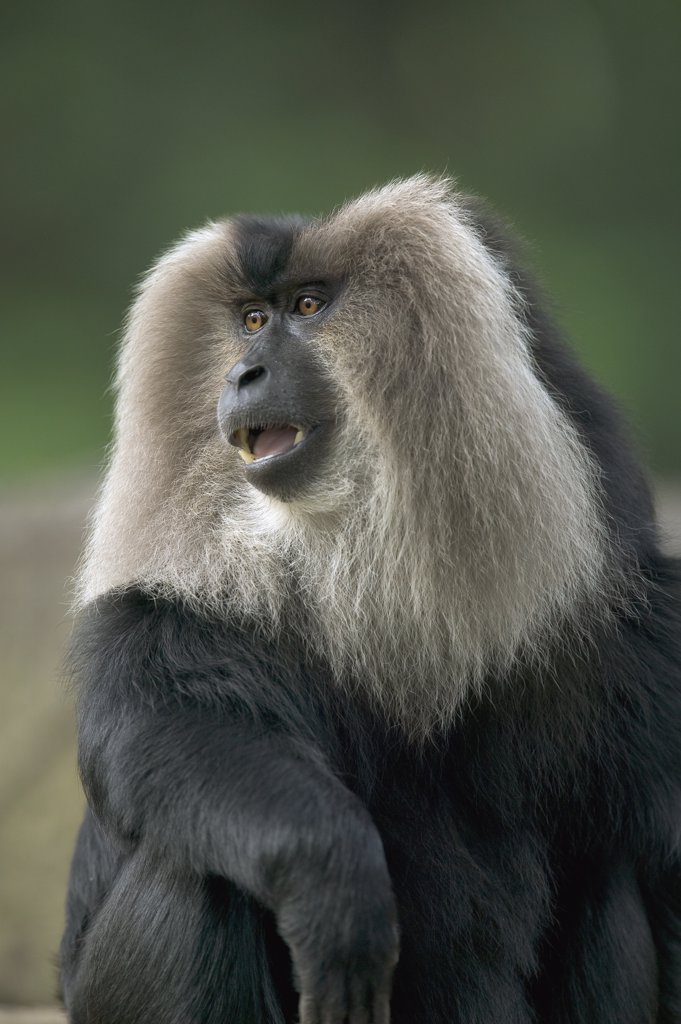 Stock Photo: 4201-75656 Lion-tailed Macaque (Macaca silenus) male portrait, native to India