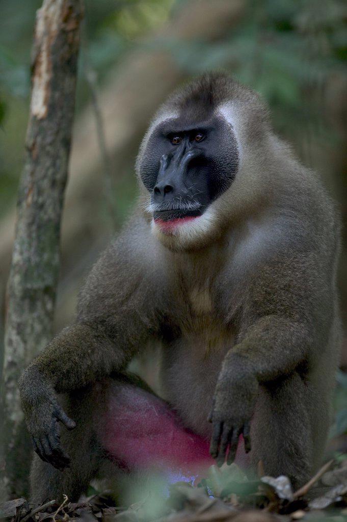 Drill (Mandrillus leucophaeus) adult male, Pandrillus Drill Sanctuary, Nigeria : Stock Photo
