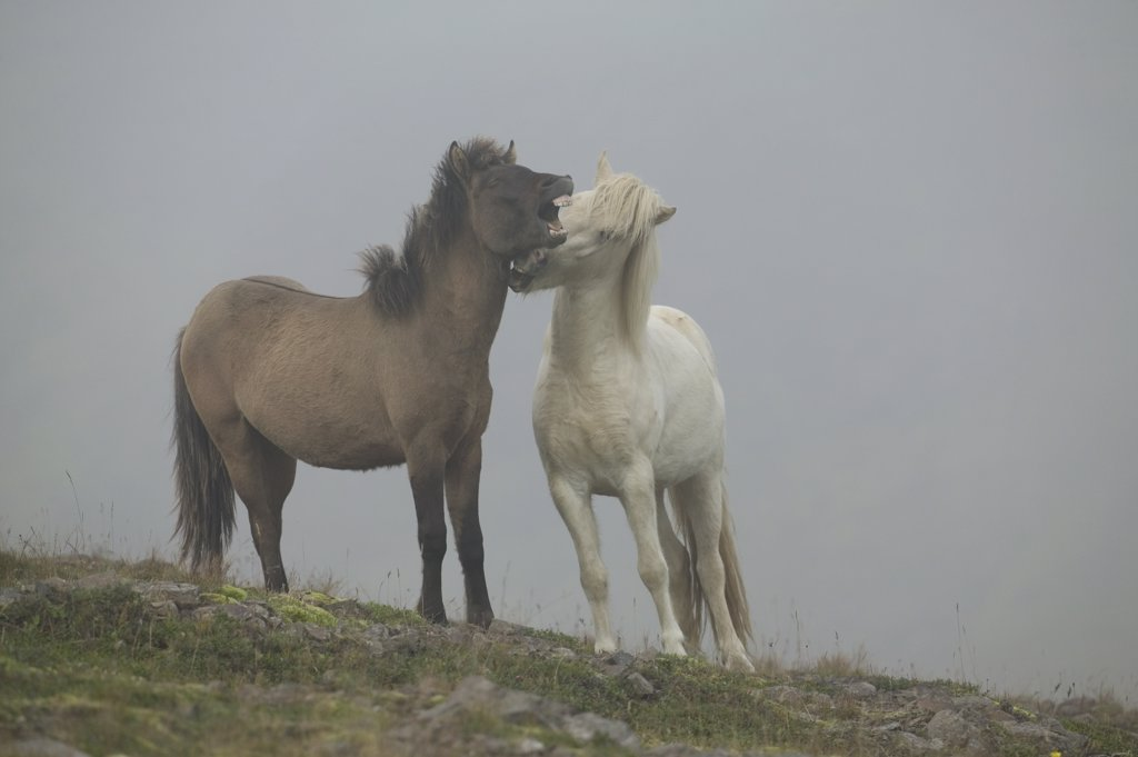 Domestic Horse (Equus caballus) pair in foggy field, central Iceland : Stock Photo