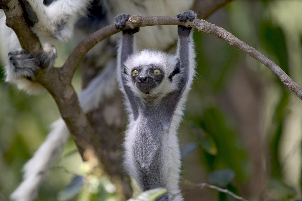 Stock Photo: 4201-76238 Verreaux's Sifaka (Propithecus verreauxi) baby hanging from tree branch, vulnerable, Berenty Private Reserve, Madagascar