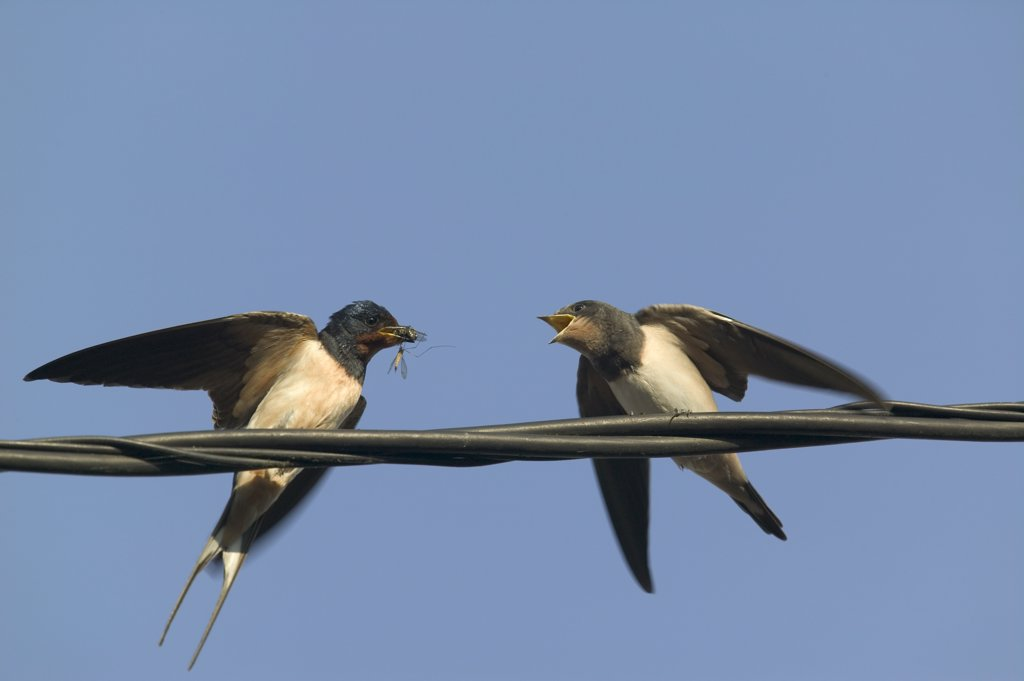 Barn Swallow (Hirundo rustica) parent feeding begging fledgling, Bourgogne, France : Stock Photo