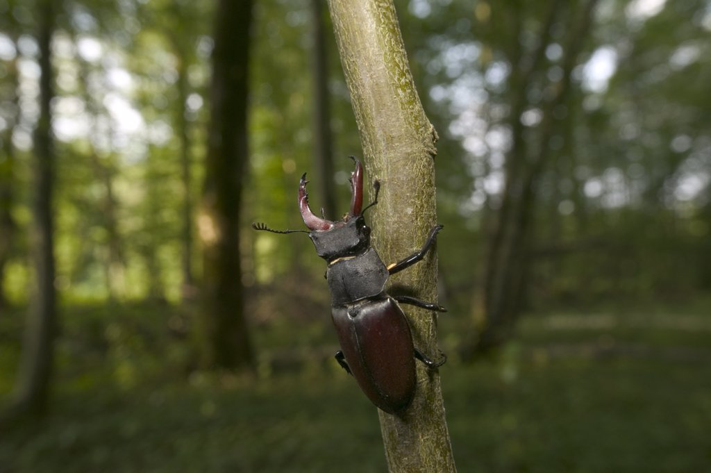 Stag Beetle (Lucanidae) climbing branch, Bourgogne, France : Stock Photo