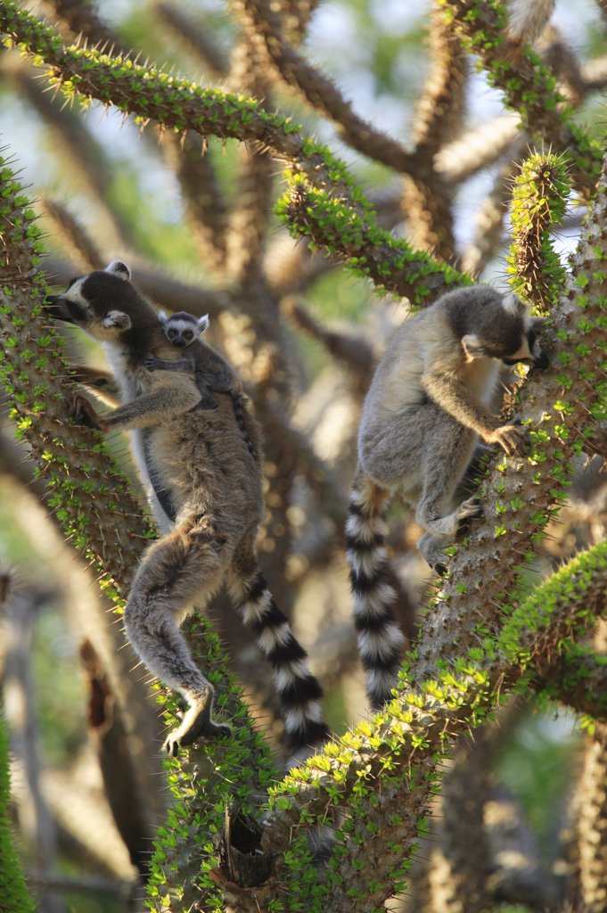 Stock Photo: 4201-76314 Ring-tailed Lemur (Lemur catta) trio feeding on fresh leaves of the Madagascan Ocotillo (Alluaudia procera) vulnerable, Berenty Private Reserve, Madagascar