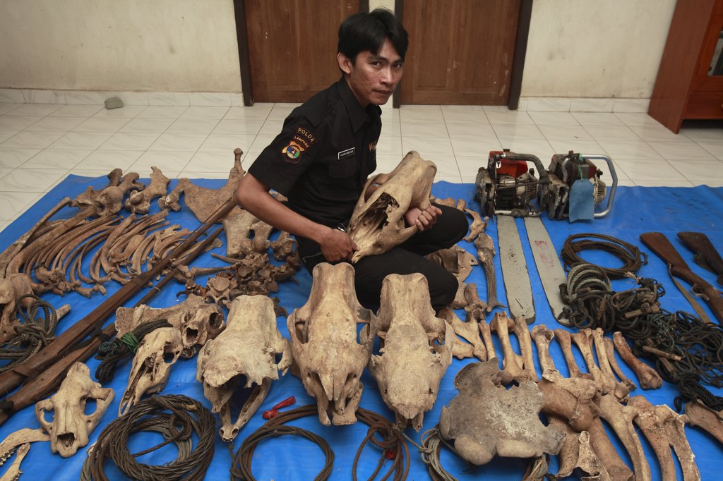 Stock Photo: 4201-76418 Sumatran Rhinoceros (Dicerorhinus sumatrensis) anti-poaching team member with confiscated artifacts, Way Kambas National Park, Sumatra, Indonesia