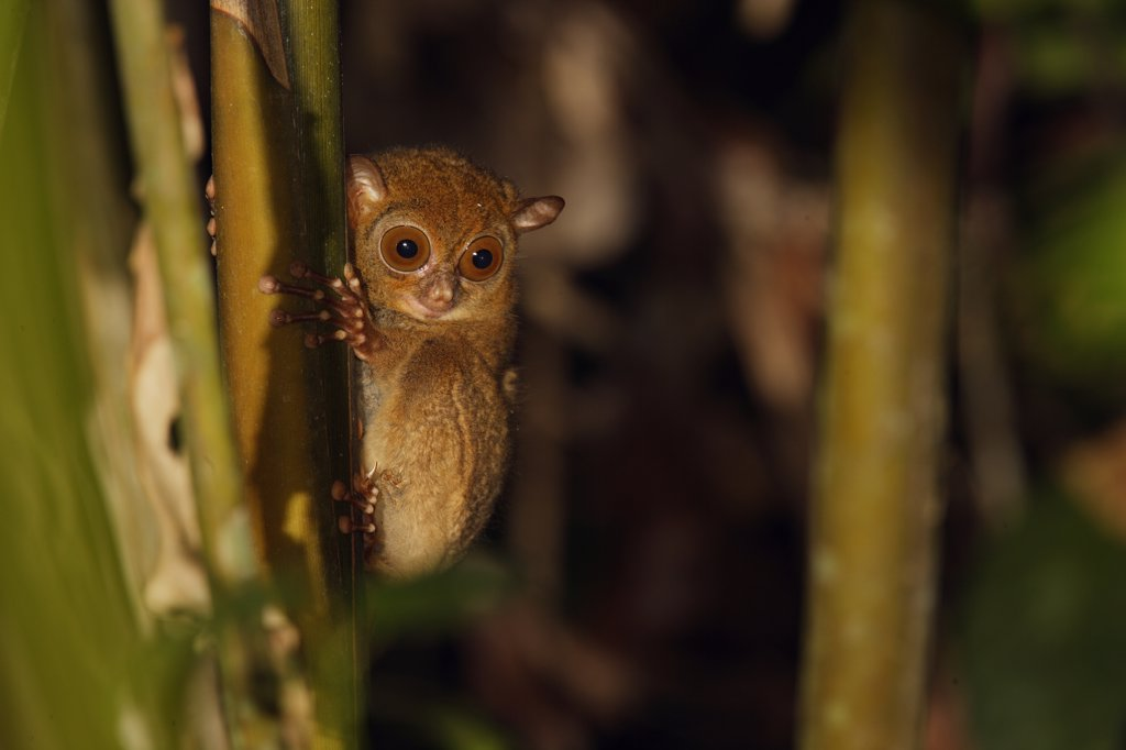 Western Tarsier (Tarsius bancanus), Bukit Barisan Selatan National Park, Sumatra, Indonesia : Stock Photo
