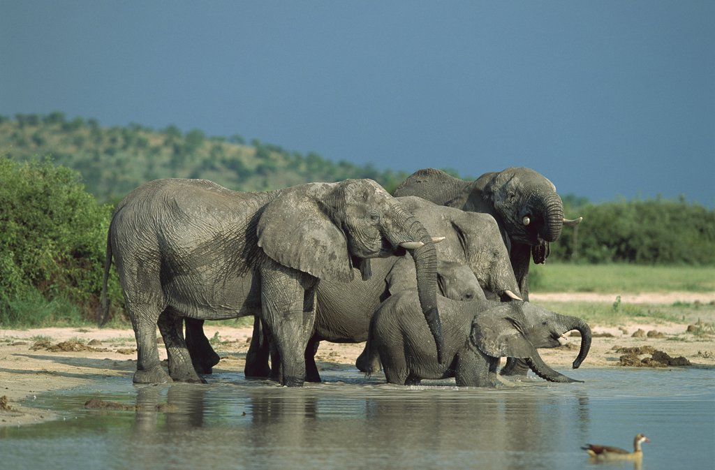 African Elephant (Loxodonta africana) group at water, Chobe National Park, Botswana : Stock Photo