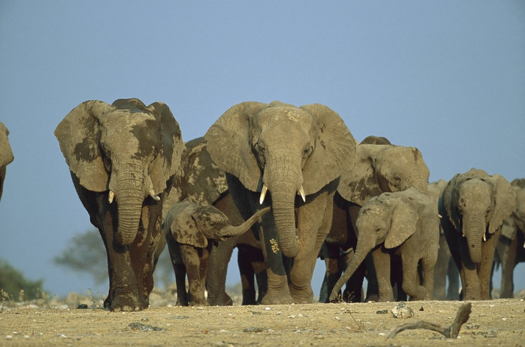 Stock Photo: 4201-77087 African Elephant (Loxodonta africana) herd during dry season, Etosha National Park, Namibia