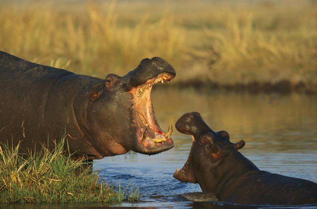 Hippopotamus (Hippopotamus amphibius) two interacting, Khwai River, Botswana : Stock Photo