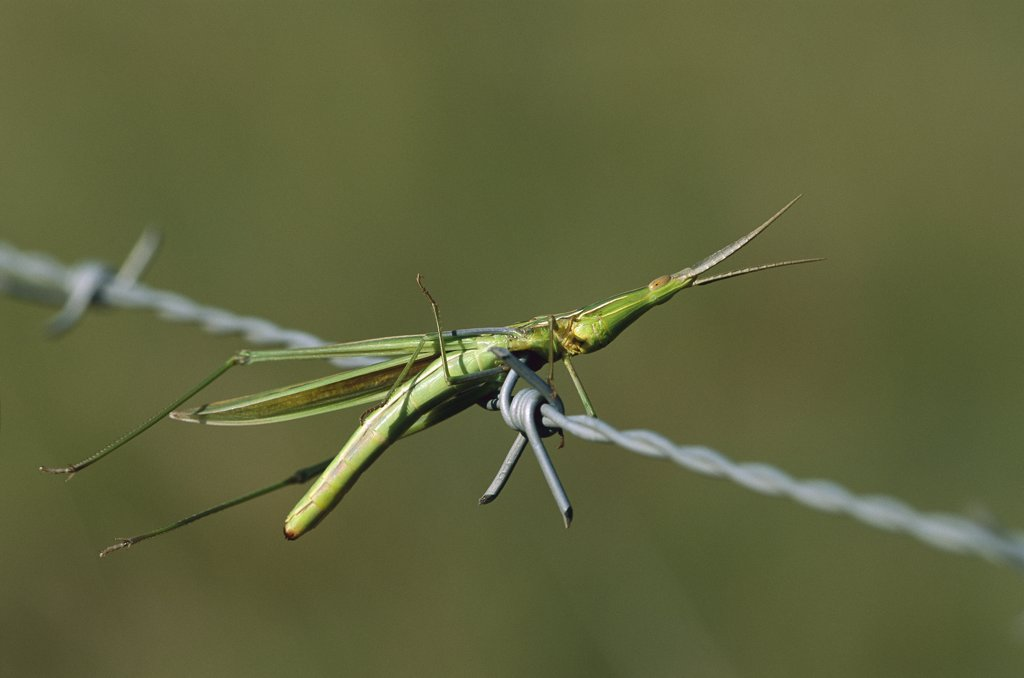 Stock Photo: 4201-77170 Insect impaled on barbed wire, Mpumalanga, Highveld, South Africa