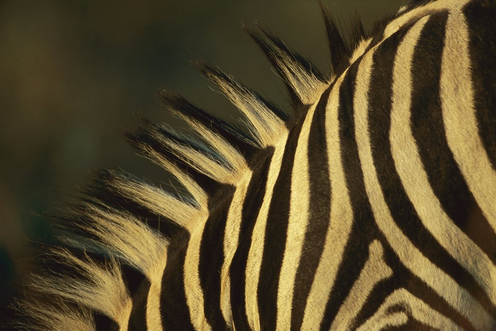 Stock Photo: 4201-77188 Burchell's Zebra (Equus burchellii) close-up of stripes on neck, Itala Game Reserve, South Africa