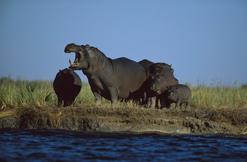 Hippopotamus (Hippopotamus amphibius) group, Chobe River, Botswana : Stock Photo