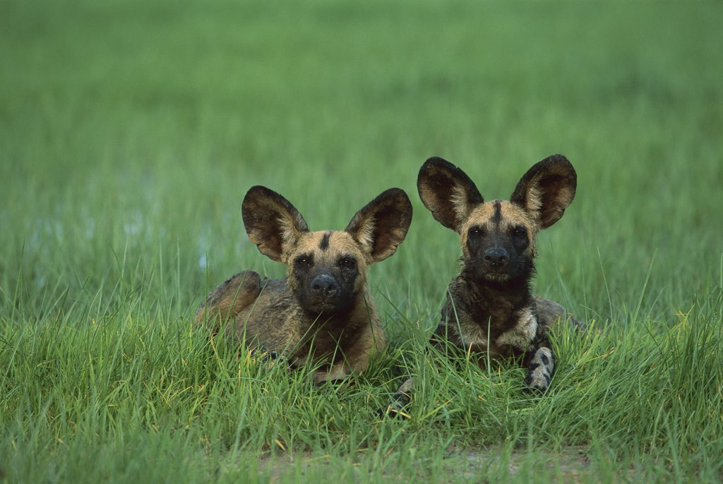 Stock Photo: 4201-77247 African Wild Dog (Lycaon pictus) pair laying in green grass of summer, endangered, Savuti, Chobe National Park, Botswana