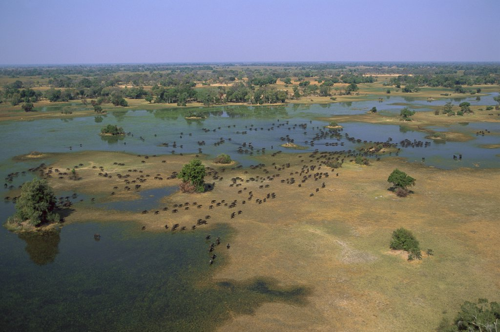 Cape Buffalo (Syncerus caffer) herd in winter, Okavango Delta, Botswana : Stock Photo
