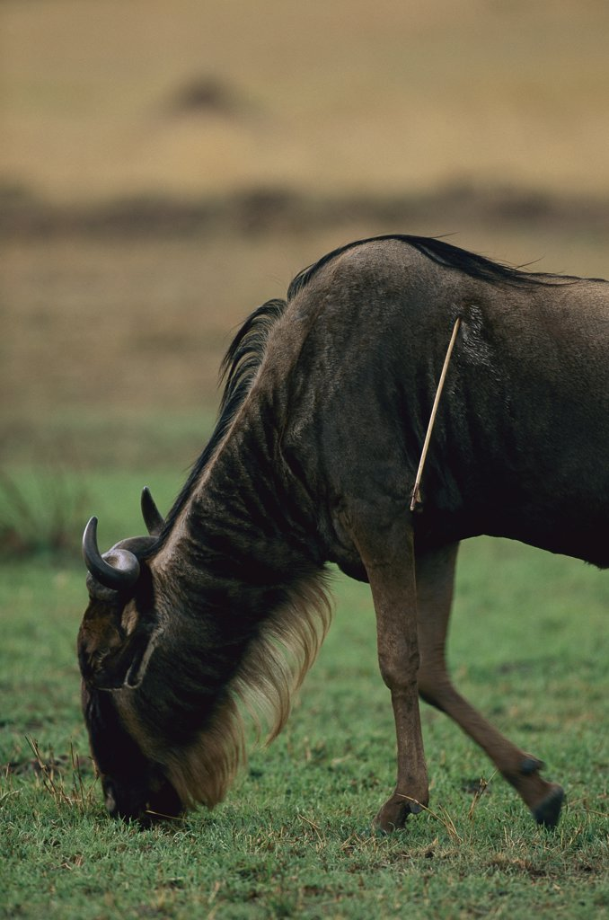 Stock Photo: 4201-77390 Blue Wildebeest (Connochaetes taurinus) grazing with a poacher's arrow stuck in it's side, Masai Mara National Reserve, Kenya