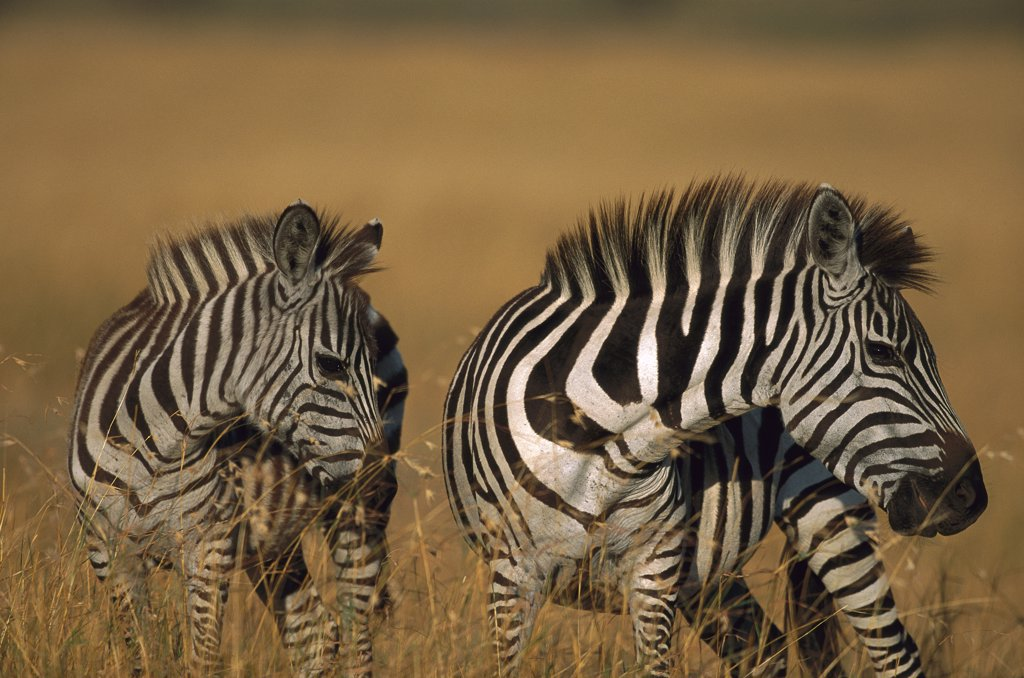 Stock Photo: 4201-77433 Burchell's Zebra (Equus burchellii) two walking, Masai Mara Reserve, Kenya
