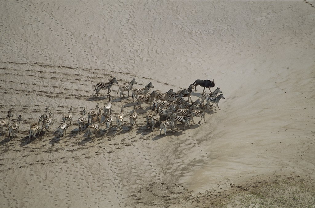 Burchell's Zebra (Equus burchellii), aerial view of herd and one wildebeest in summer, Makgadikgadi Pans, Botswana : Stock Photo