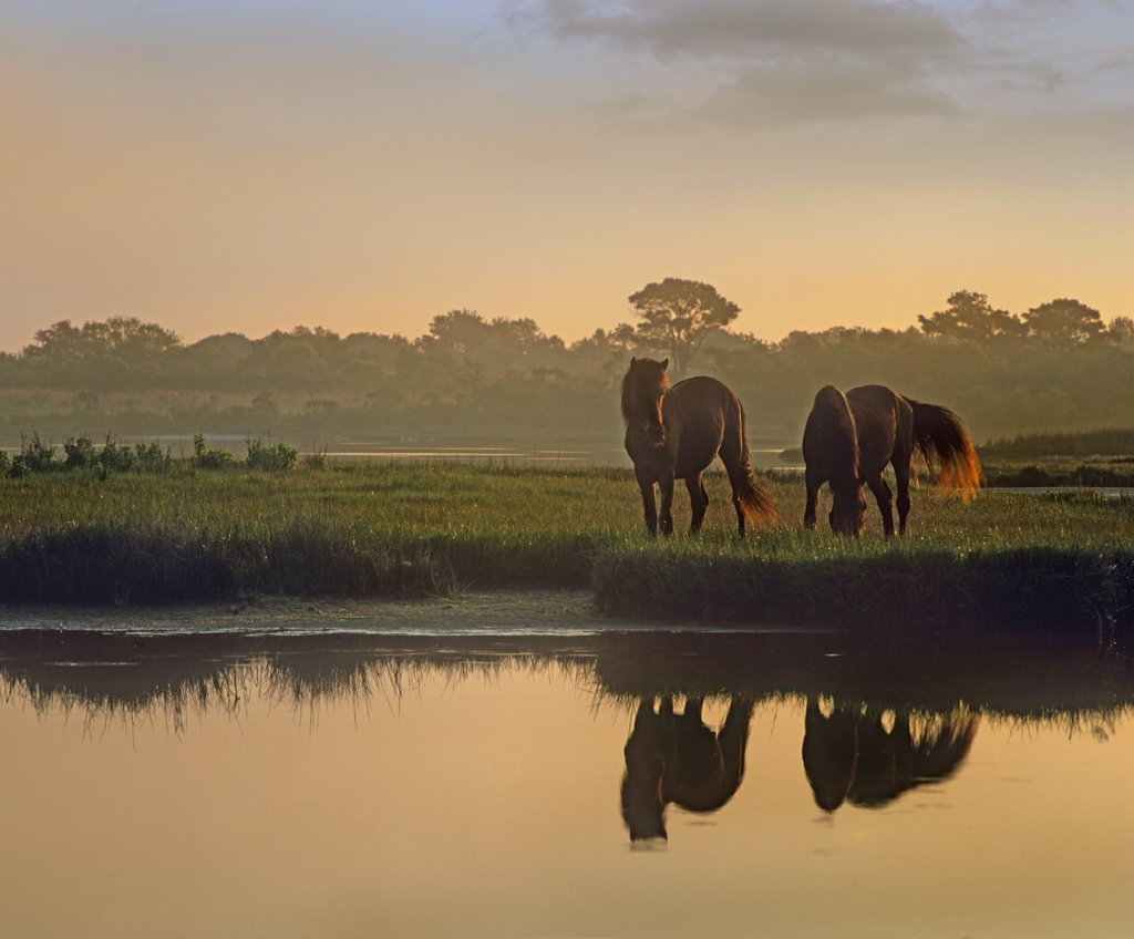 Stock Photo: 4201-7755 Wild Horse (Equus caballus) pair grazing at Assateague Island National Seashore, Maryland