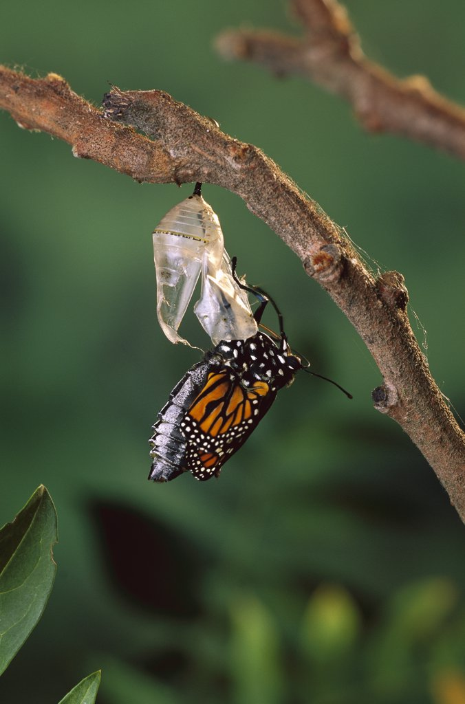 Stock Photo: 4201-77585 Monarch (Danaus plexippus) butterfly, emerging from chrysalis, North America