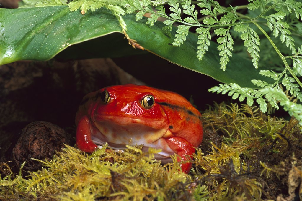 Stock Photo: 4201-77608 Tomato Frog (Dyscophus antongilii) female, very rare in nature, native to Madagascar