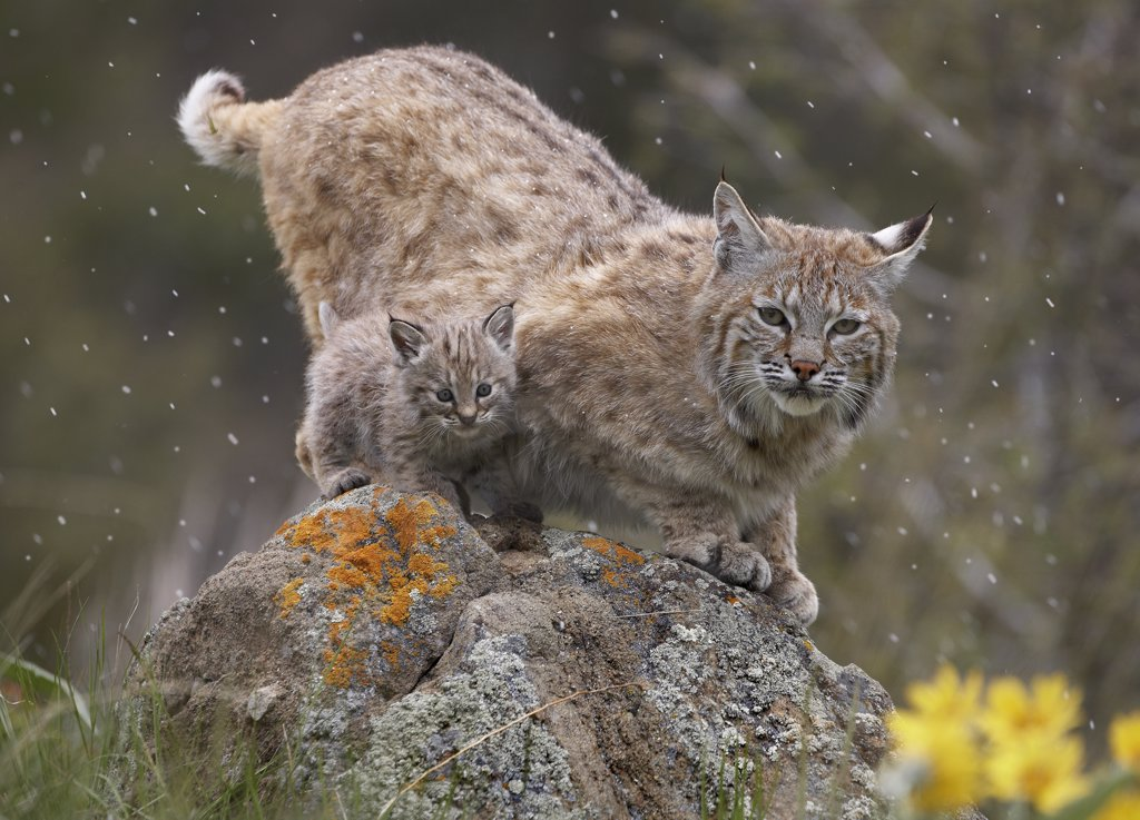 Stock Photo: 4201-7766 Bobcat (Lynx rufus) mother and kitten in snowfall, North America