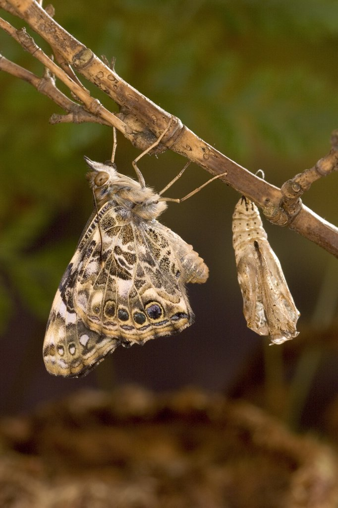 Painted Lady (Vanessa cardui) butterfly freshly emerged from its chrysalis drying its wings, North America : Stock Photo