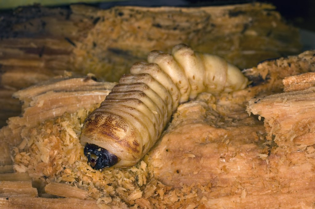Stock Photo: 4201-77863 California Root Borer (Prionus californicus) beetle larva boring through decaying soft wood, Coleville National Forest, Washington
