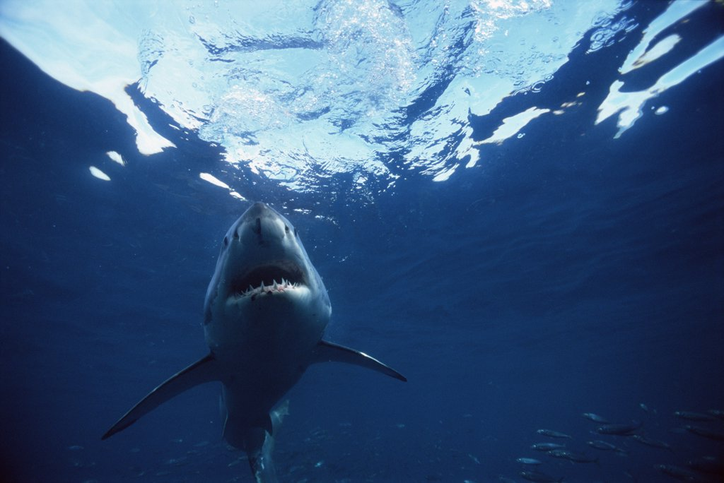 Great White Shark (Carcharodon carcharias) underwater, Neptune Islands, South Australia : Stock Photo