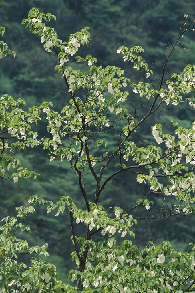 Stock Photo: 4201-78276 Dove Tree (Davidia involucrata) blossoming, so called for blossoms that waft in the breeze like wings, Sichuan Province, China