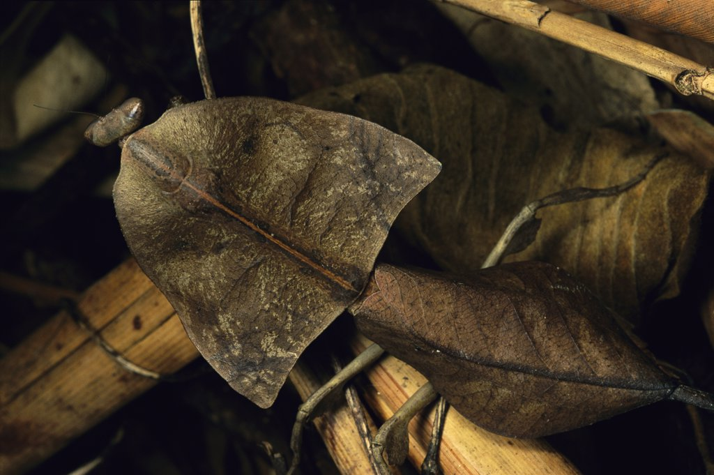 Stock Photo: 4201-78462 Brown Leaf Mantis (Deroplatys truncata) camouflaged against leaf litter, Malaysia