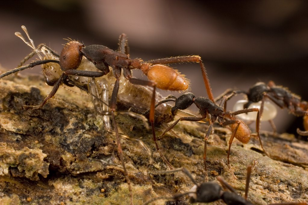 Stock Photo: 4201-78576 Army Ant (Eciton burchellii) workers of different sizes carry food back to colony, Barro Colorado Island, Panama