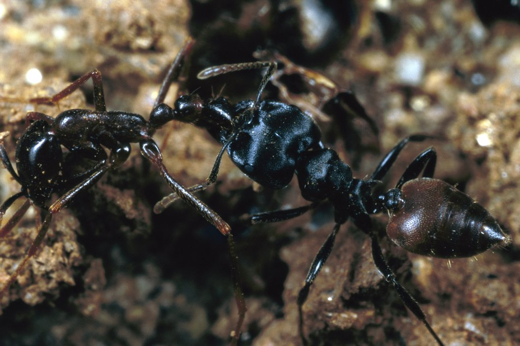Stock Photo: 4201-78679 Carpenter Ant (Camponotus sp) carrying dead army ant, Nigeria