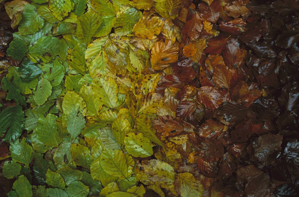 Stock Photo: 4201-78793 European Beech (Fagus sylvatica) leaves showing gradual change of colors in fall, Jasmund National Park, Ruegen, Germany